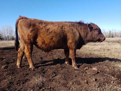 Purebred Dexter Bull for sale