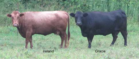 Registered Dexter cows for sale Ontario