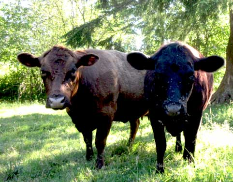 Registered Dexter Cows for sale